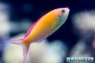 2015_12 Pseudanthias at Madagascar Reef Aquarium at Zoo Zurich01