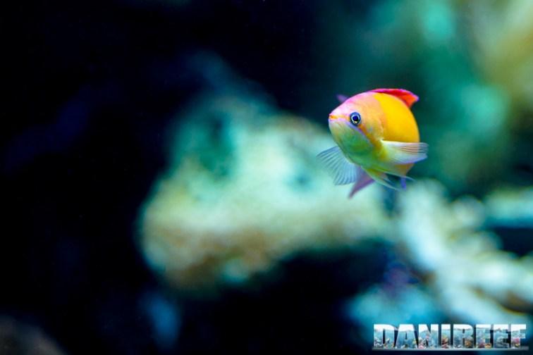 2015_12 Pseudanthias at Madagascar Reef Aquarium at Zoo Zurich09