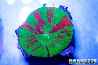 2016_05 Interzoo Norimberga whitecorals coralli scolymia 04