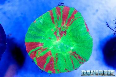 2016_05 Interzoo Norimberga whitecorals coralli scolymia 07