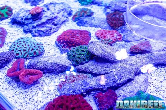 201610-acanthastrea-coralli-hobby-acquari-lobophyllia-lps-micromussa-petsfestival-reefline-trachyphyllia-68-copyright-by-danireef