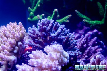 201610-acropora-barriera-corallina-coralli-petsfestival-sps-138-copyright-by-danireef