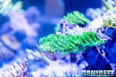 201610-acropora-coralli-hobby-acquari-petsfestival-reefline-sps-257-copyright-by-danireef