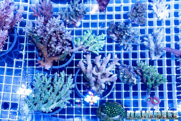 201610-acropora-coralli-ondanomala-petsfestival-sps-154-copyright-by-danireef