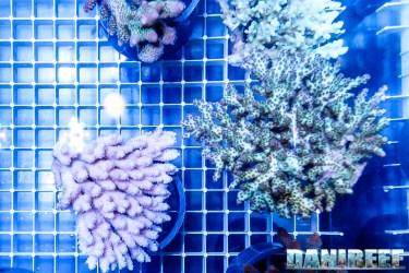 201610-acropora-coralli-ondanomala-petsfestival-sps-155-copyright-by-danireef