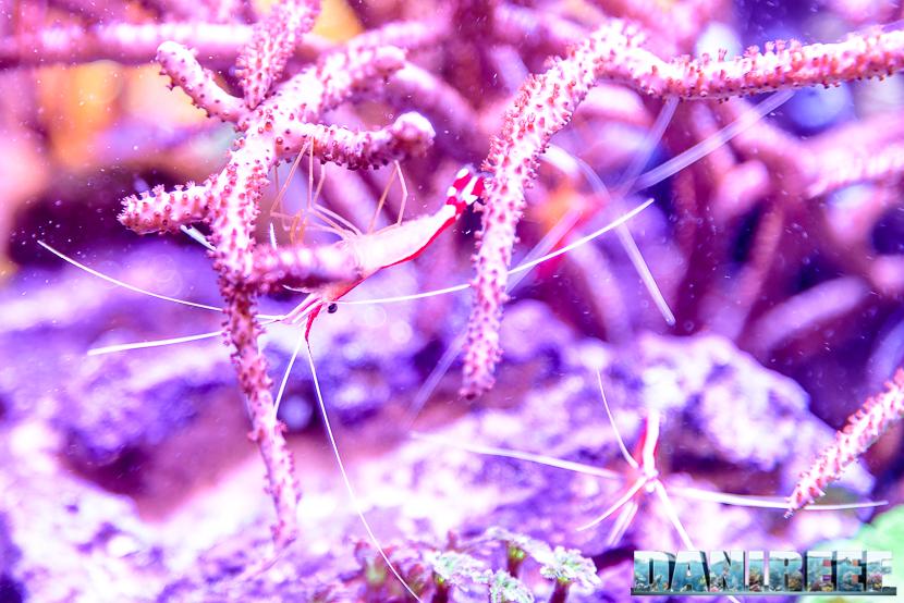 201610-amboinensis-aqamai-hydor-lysmata-petsfestival-80-copyright-by-danireef