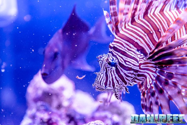 201610-barriera-corallina-pesci-petsfestival-pterois-volitans-210-copyright-by-danireef