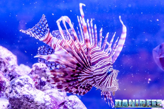 201610-barriera-corallina-pesci-petsfestival-pterois-volitans-212-copyright-by-danireef