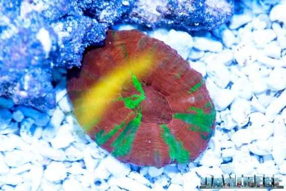 201610-coralli-hobby-acquari-lps-petsfestival-reefline-scolymia-46-copyright-by-danireef