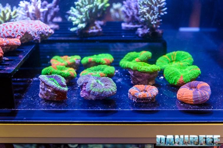 201610-coralli-lps-petsfestival-reef-joker-scolymia-53-copyright-by-danireef