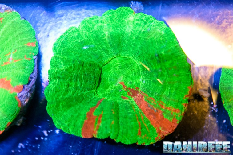 201610-coralli-lps-petsfestival-reef-joker-scolymia-56-copyright-by-danireef