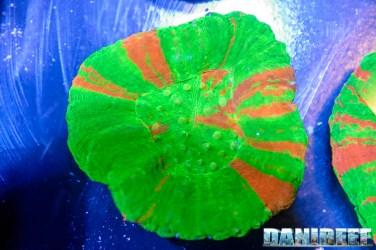 201610-coralli-lps-petsfestival-reef-joker-scolymia-57-copyright-by-danireef