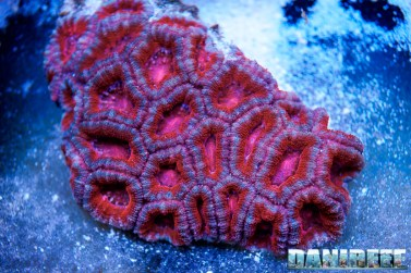 201701 acanthastrea, coralli, lps, micromussa 15 Copyright by DaniReef
