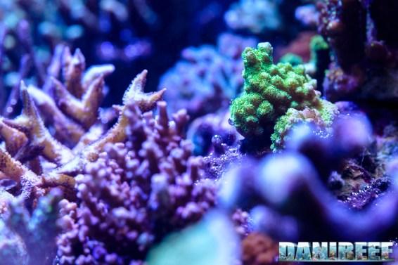 201701 acropora, animali, coralli sps 99 Copyright by DaniReef