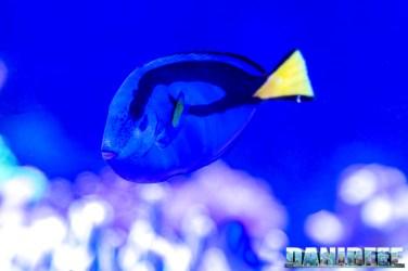 201701 animali, Paracanthurus hepatus, pesce chirurgo, pesci 48 Copyright by DaniReef