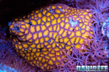 201701 animali, coralli 113 Copyright by DaniReef