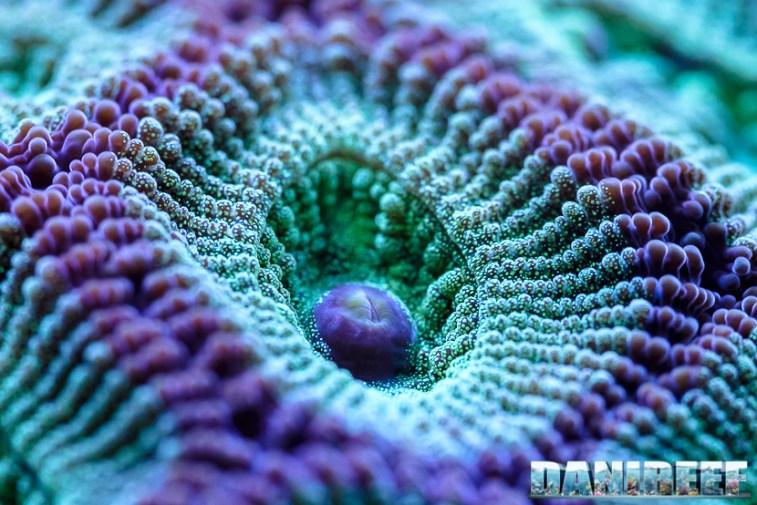 201701 animali, coralli lps, Favites chinensis, macro 107 Copyright by DaniReef