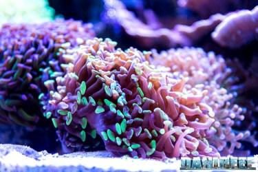 201701 animali, coralli lps, euphyllia 37 Copyright by DaniReef