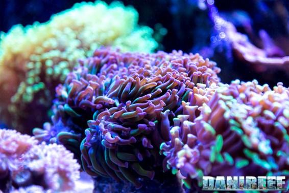 201701 animali, coralli lps, euphyllia 39 Copyright by DaniReef