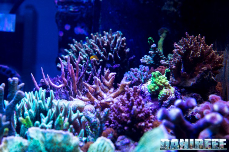 201701 animali, coralli sps 01 Copyright by DaniReef