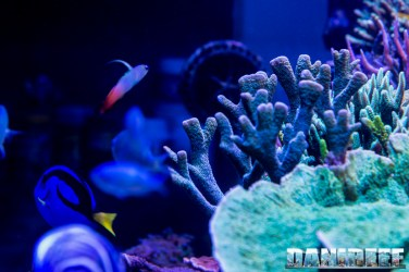 201701 animali, coralli sps 03 Copyright by DaniReef