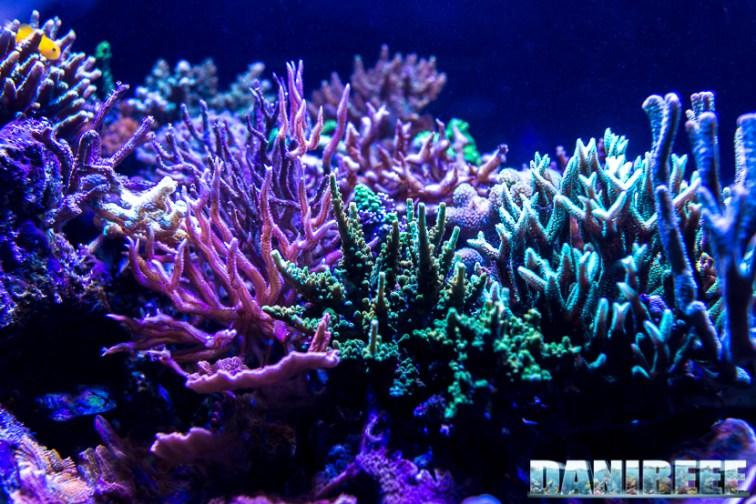 201701 animali, coralli sps 30 Copyright by DaniReef