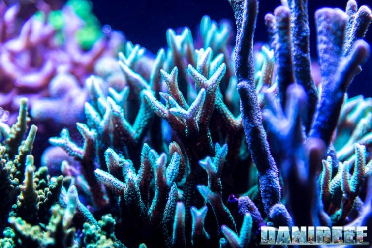 201701 animali, coralli sps 33 Copyright by DaniReef