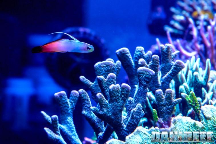 201701 animali, coralli sps, nemateleotris magnifica, pesci 05 Copyright by DaniReef