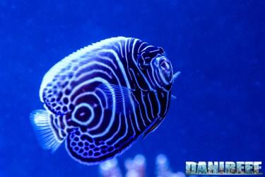 201701 animali, pesce angelo, pesci, pomacanthus imperator 19 Copyright by DaniReef