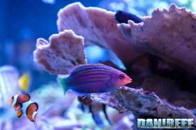 201701 animali, pesci, pseudocheilinus hexataenia 15 Copyright by DaniReef