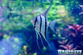 201705 aquascaping, itau, pterophyllum, scalari, zoomark 23 Copyright by DaniReef