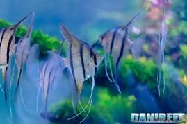 201705 aquascaping, itau, pterophyllum, scalari, zoomark 24 Copyright by DaniReef