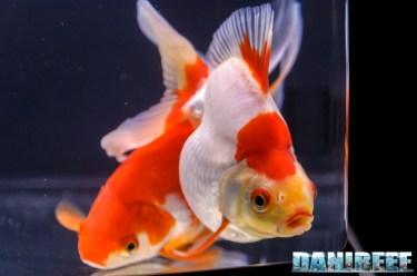 2017_10_goldfish experience, pesci rossi, petsfestival 2017, sera_304