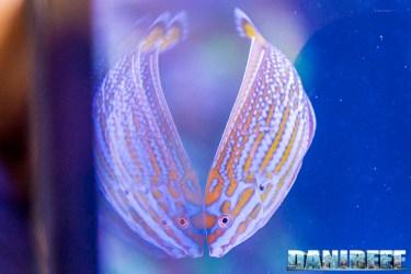201805 dejong marinelife, interzoo, labride, pesci 13 Copyright by DaniReef