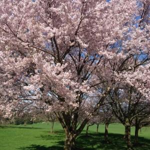Kirsebærtræ i Mindeparken i aarhus