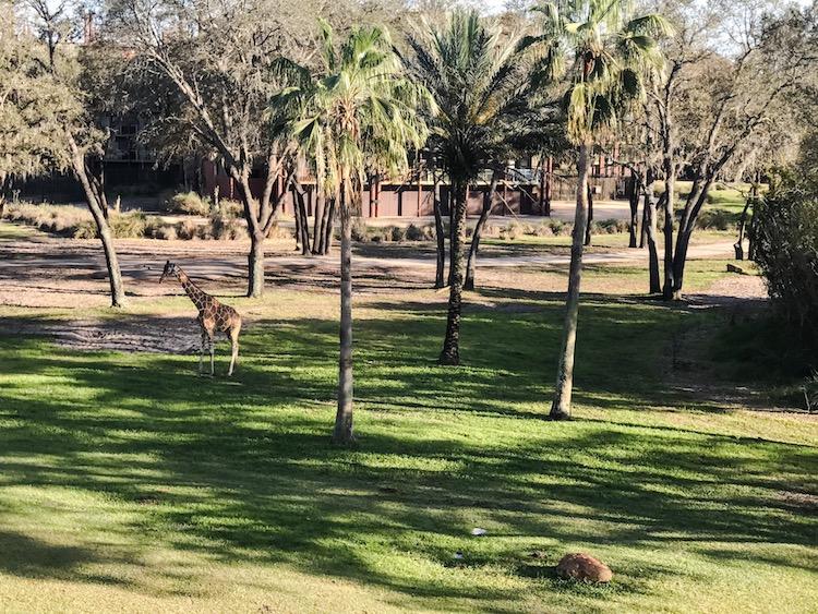 Giraffe at Disneys Animal Kingdom Lodge