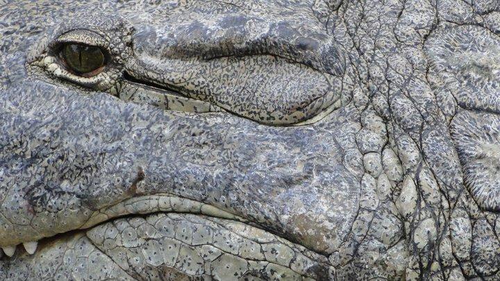 Crocodilus niloticus (Nijlkrokodil) | © Danny Haelewaters