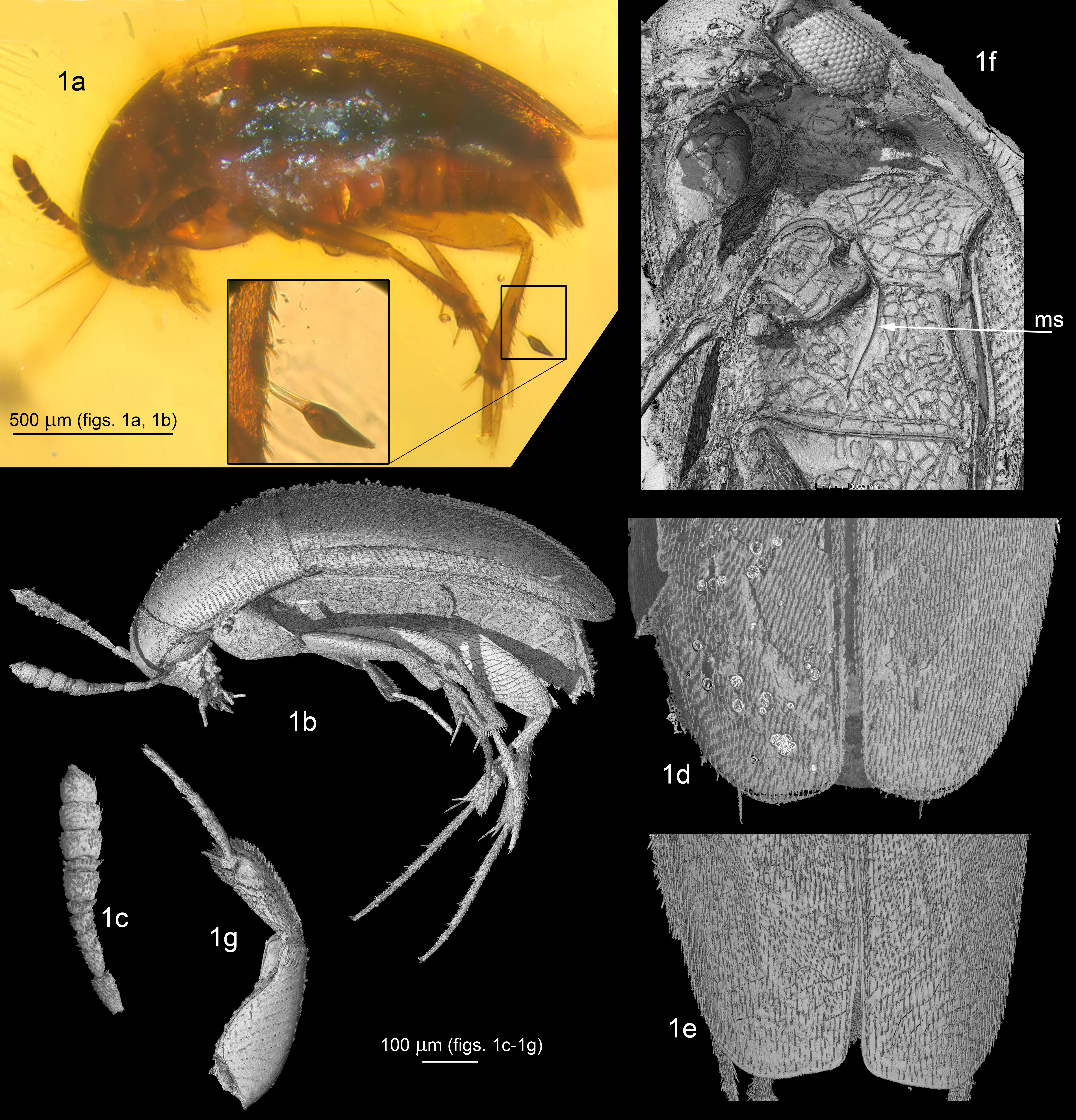 X-ray microtomographs showing characteristics of the fossil Proptomaphaginus alleni