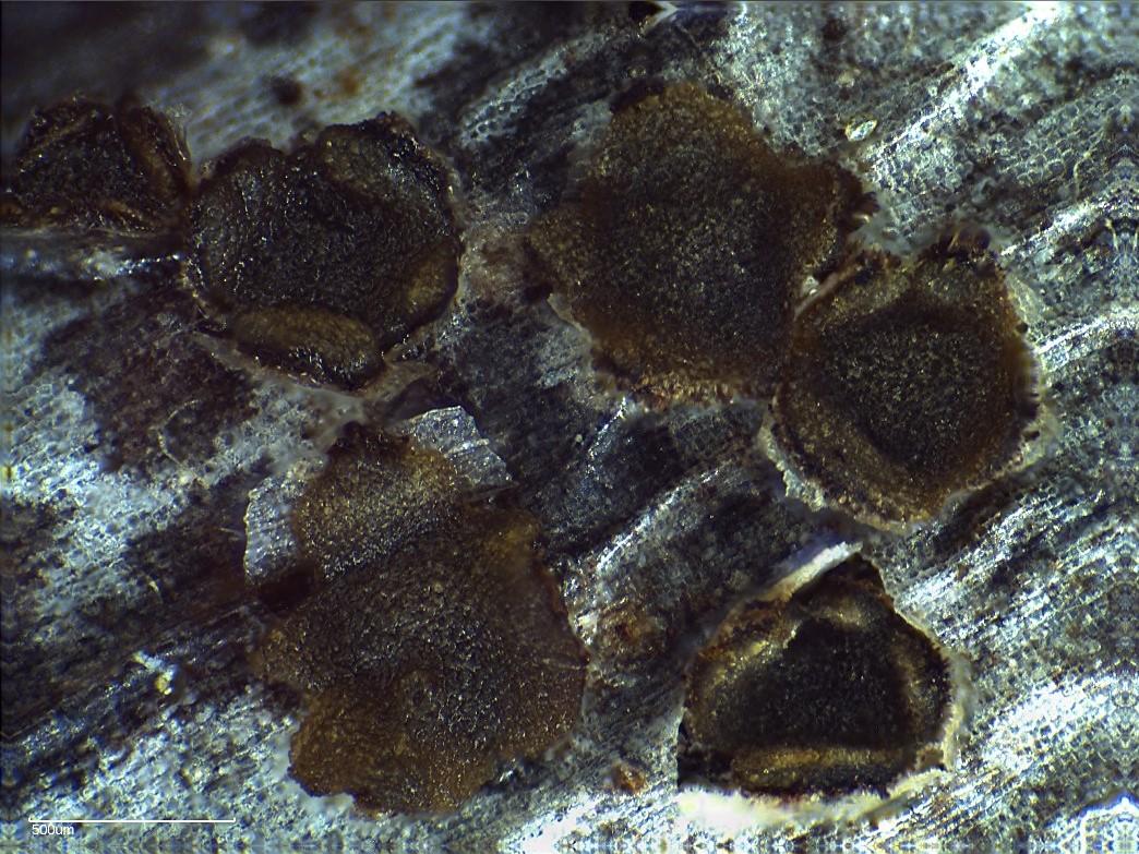 Trochila bostonensis from Great Brewster Island, from Gómez-Zapata et al. (2021)
