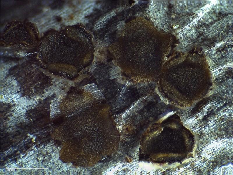Trochila bostonensis from Great Brewster Island