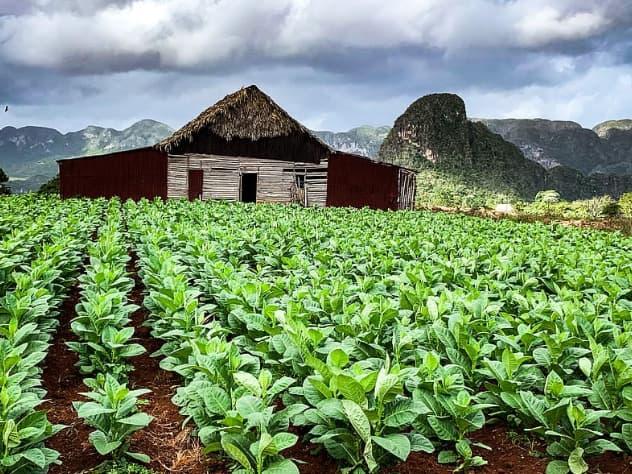Champs cultivé de tabac