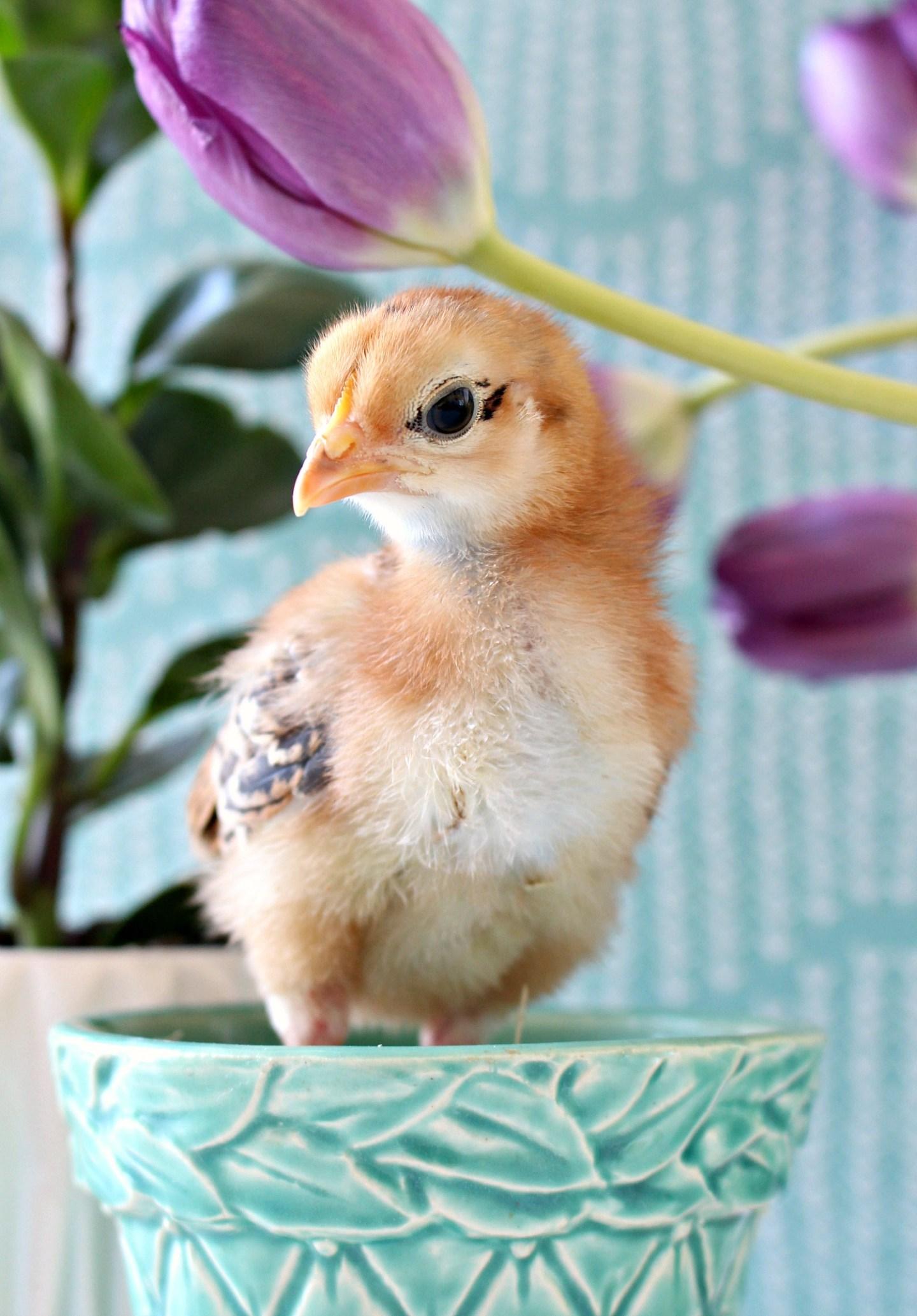 Photos of Baby Chicks