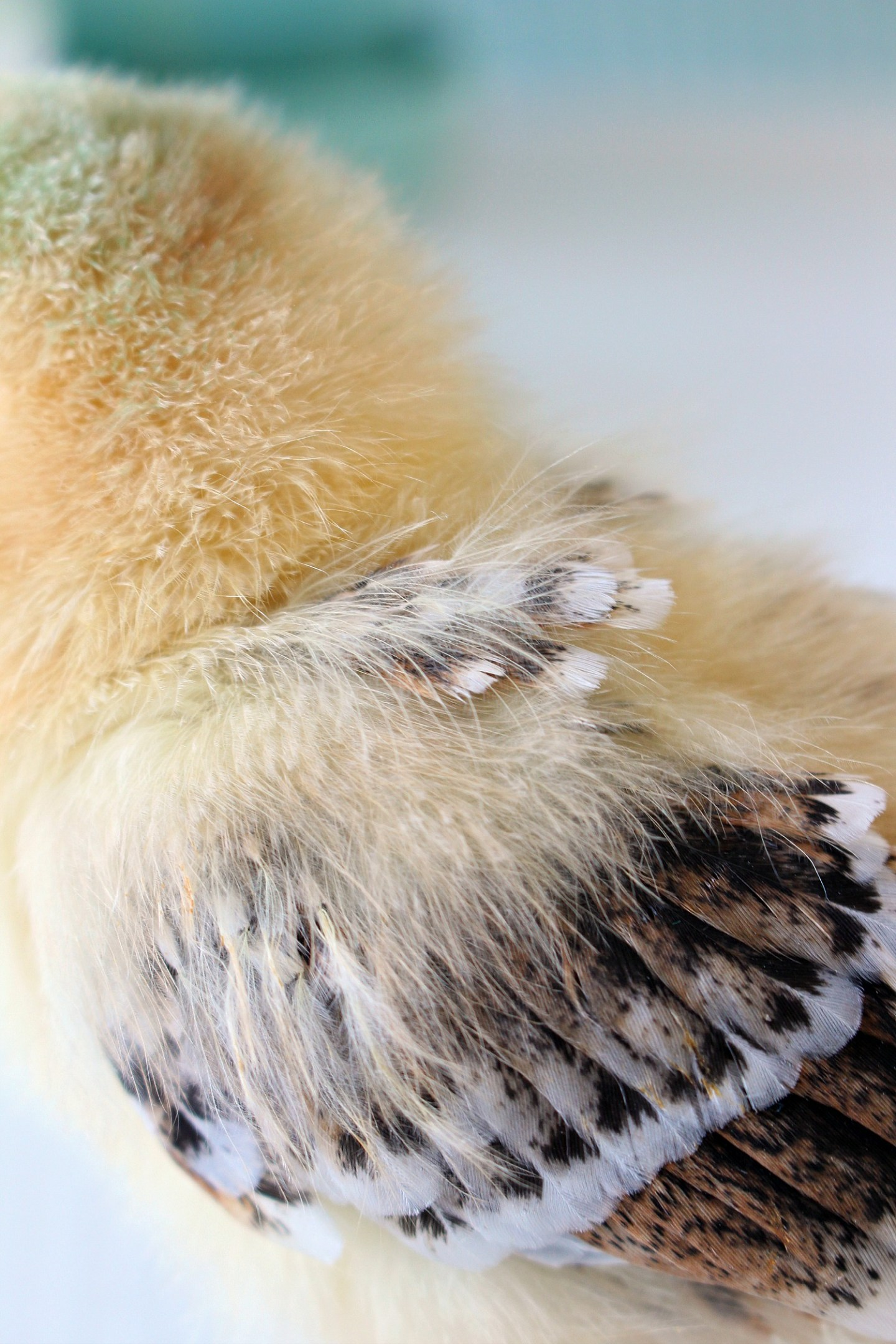Baby Chick Growing Feathers