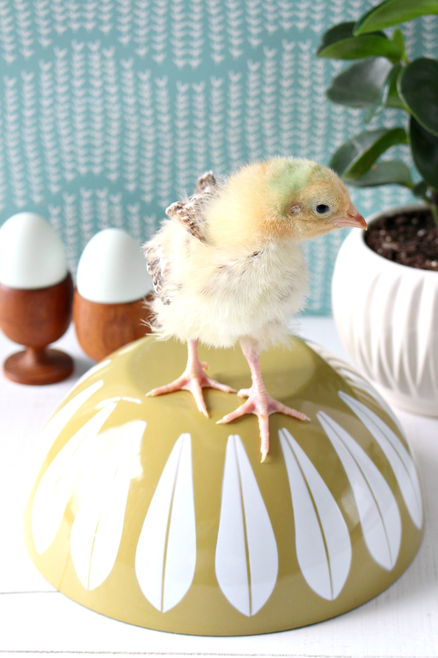 Baby Chicks for Spring