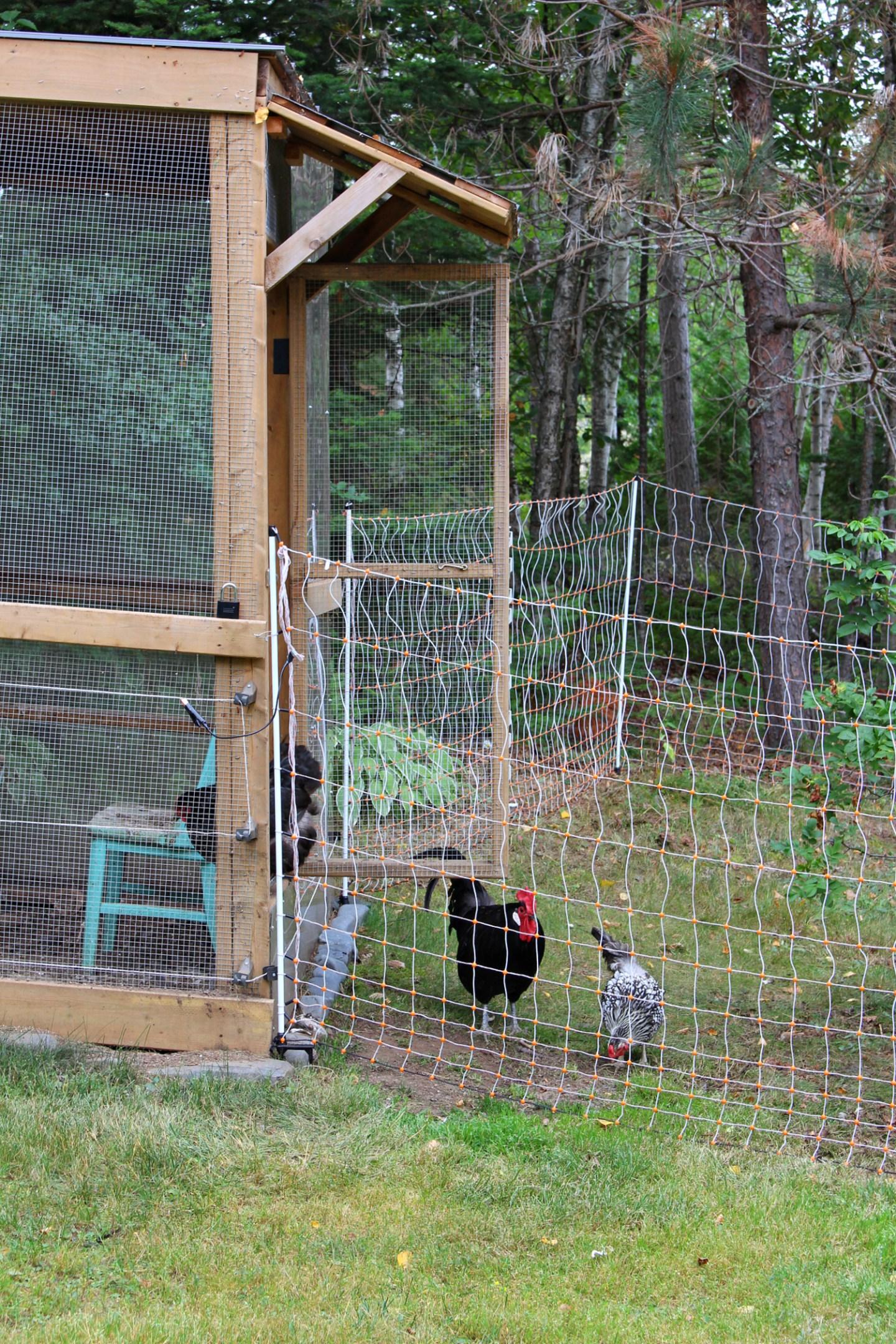 Chicken Run Protected From Predators