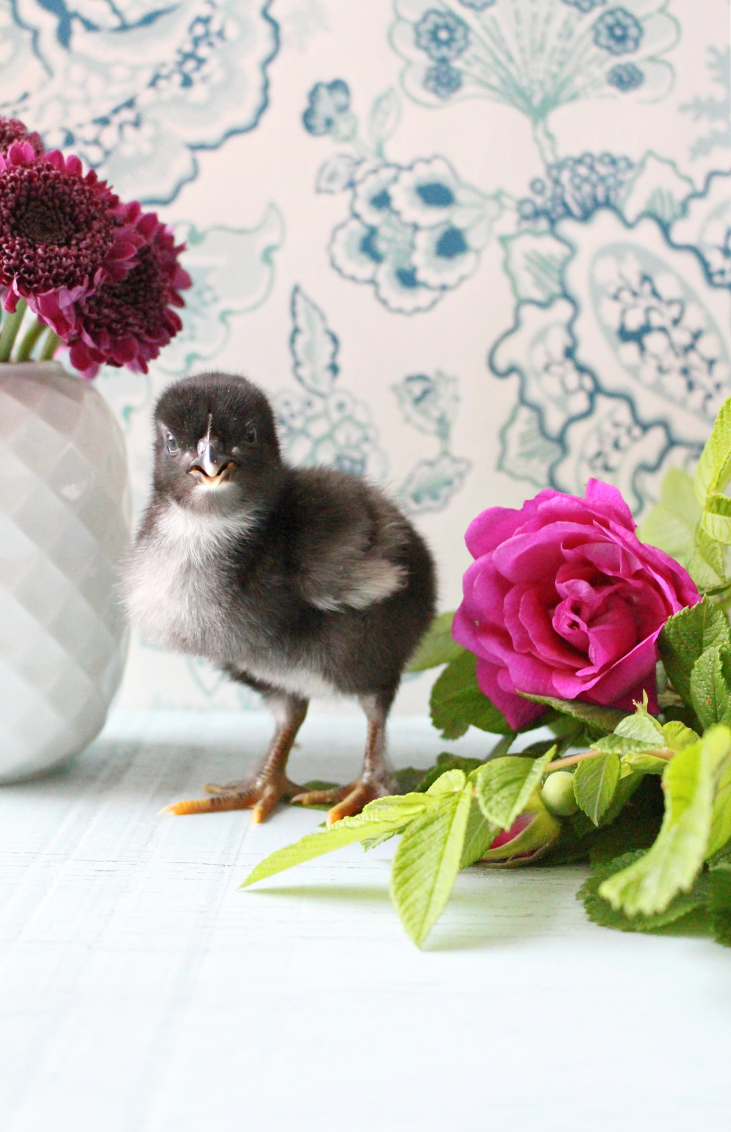 Day Old chick photos