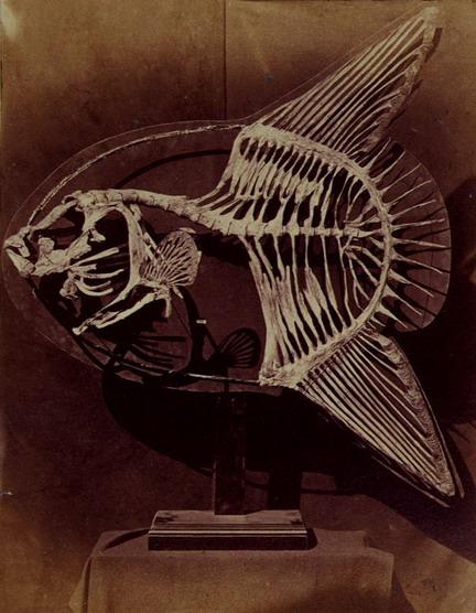 Squelette d'un poisson lune par Charles Lutwidge Dodgson
