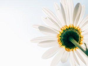 daisy-801813__340