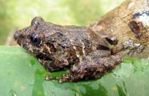 Pristimantis orpacobates