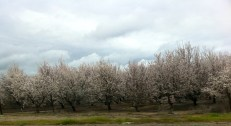 Cherry trees (we think)
